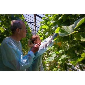 Мониторинг карантинного фитосанитарного состояния тепличных хозяйств в Волгоградской области