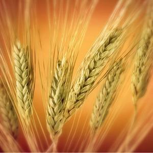 Если зерно в таких условиях будет храниться, то оно не сохранится!