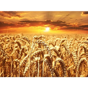 Предварительные итоги мониторинга качества зерна урожая 2018 года в Воронежской области