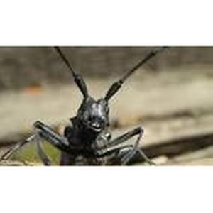 Усачи Чёрные из рода Monochamus – одни из наиболее опасных вредителей древесины