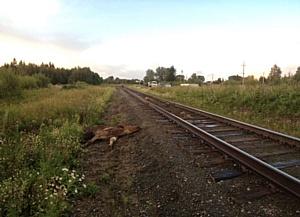 Томская транспортная полиция призывает не оставлять скот без присмотра вблизи железной дороги