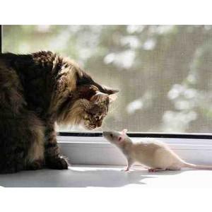 О распространении крыс в городах и борьбе с ними