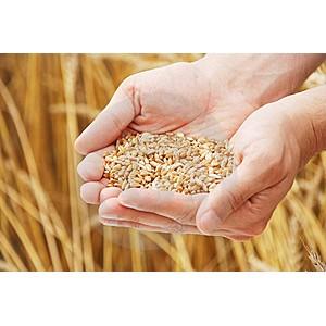 В ходе проверки сельхозпредприятия выявлено нарушение правила хранения зерна