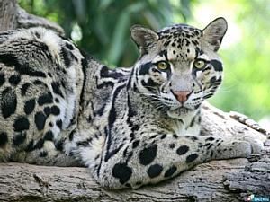 В Новосибирск привезли дымчатого леопарда из Чехии.