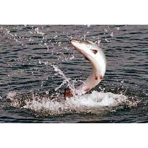 О ввозе рыбопродукции из Норвегии