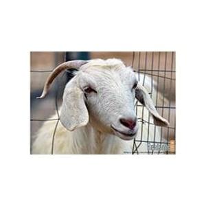 О признаках заболевания бруцеллеза у животных