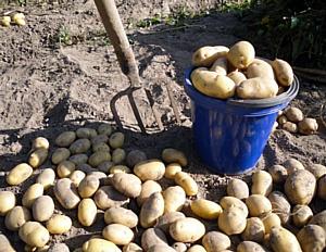 России не хватает картошки