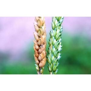 Выявлен новый возбудитель болезни колоса озимой пшеницы
