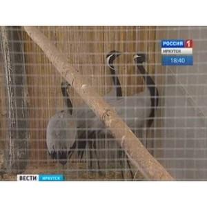 В Иркутской зоогалерее появился журавль-красавка