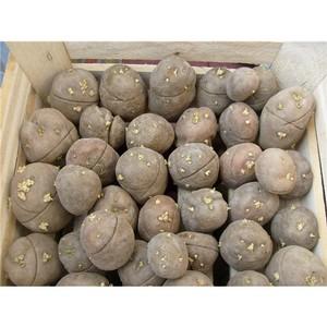 О прибытии потенциально опасного семенного картофеля Управление Россельхознадзора не известили