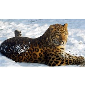 Численность леопардов в Дагестане установят фотоловушки
