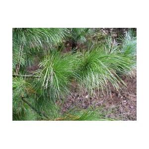 Дочерние общества ПАО «РуссНефть» получили свидетельства «Хранителей кедровых лесов Югры»