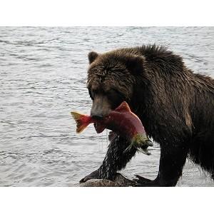 Медвежья желчь и медвежий жир — это высокоэффективные средства природного происхождения