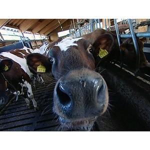 Финский крупнорогатый скот прибыл в Томскую область