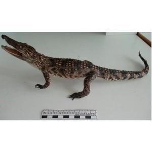 Кемеровские таможенники обнаружили чучело крокодила в багаже туриста