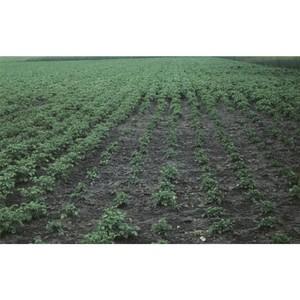 На участке площадью 46 га обнаружены цисты золотистой картофельной нематоды
