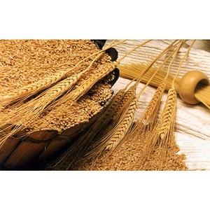 На элеваторе Семилукского района зерно хранится в условиях, не обеспечивающих его безопасность