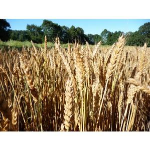 В ООО «Бутырки» зерно хранится в неподобающих условиях