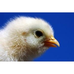 38% всех поставок племенного птицеводства в 2011 г. в Россию осуществили Нидерланды