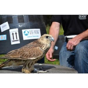 Орнитологи АлтГУ помогли соколам-балобаном вернуться домой