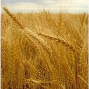 Земли сельхозназначения заросли сорной растительностью