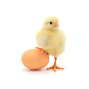 О ввозе инкубационного яйца в Томскую область