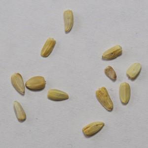 Об обнаружении партий пшеницы с неблагополучным фитосанитарным состоянием в Волгоградской области