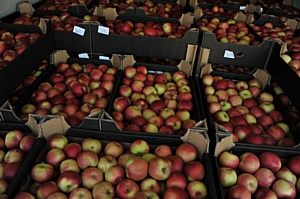 Сорок тонн польских яблок задержаны на границе с Белоруссией
