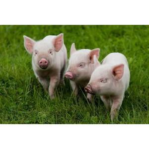 ООО «Бутурлиновский мясокомбинат» нарушил ветеринарное законодательство РФ