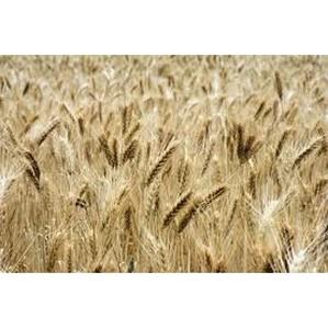 В ЗАО «Маяк» выявлены нарушения в сфере безопасности и качества зерна