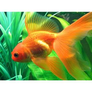 Золотые рыбки от компании «Мосфиш»