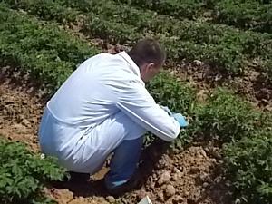 В Астраханской области идет мониторинг карантинных вредителей на полях