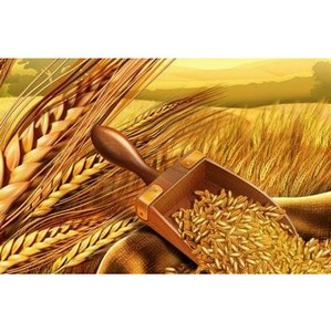 О нарушении правил хранения зерна в ОАО «Тресвятское Хлебоприемное»