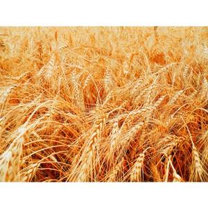 В ОАО «Эртильский элеватор» хранили зерно с нарушениями