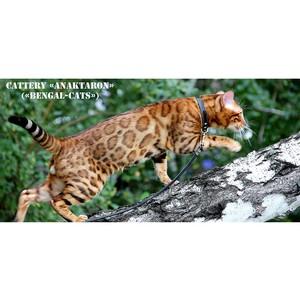 Новый сайт о бенгальских кошках питомника Бенгал - Кэтс