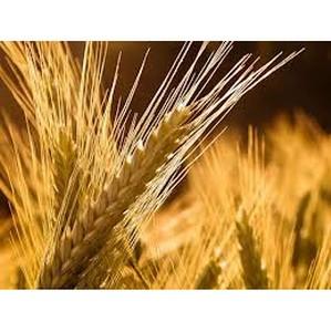 О не соблюдении техрегламента «О безопасности зерна»