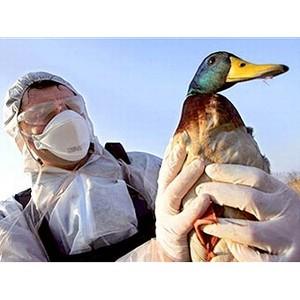 О вспышке птичьего гриппа