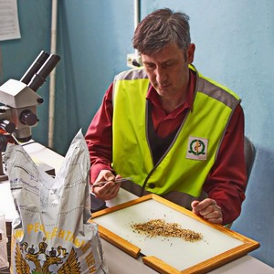 За март в Волгоградской области обнаружено 106 партий пшеницы с горчаком