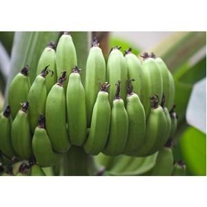 13 апреля состоится благотворительная экскурсия на банановую ферму «В поисках цитруса»