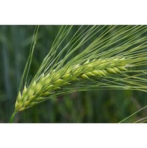 Сельхозпроизводители обязаны проверять сортовые и посевные качества семенного материала