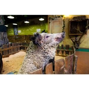 Свинья необычной породы удивила новосибирцев