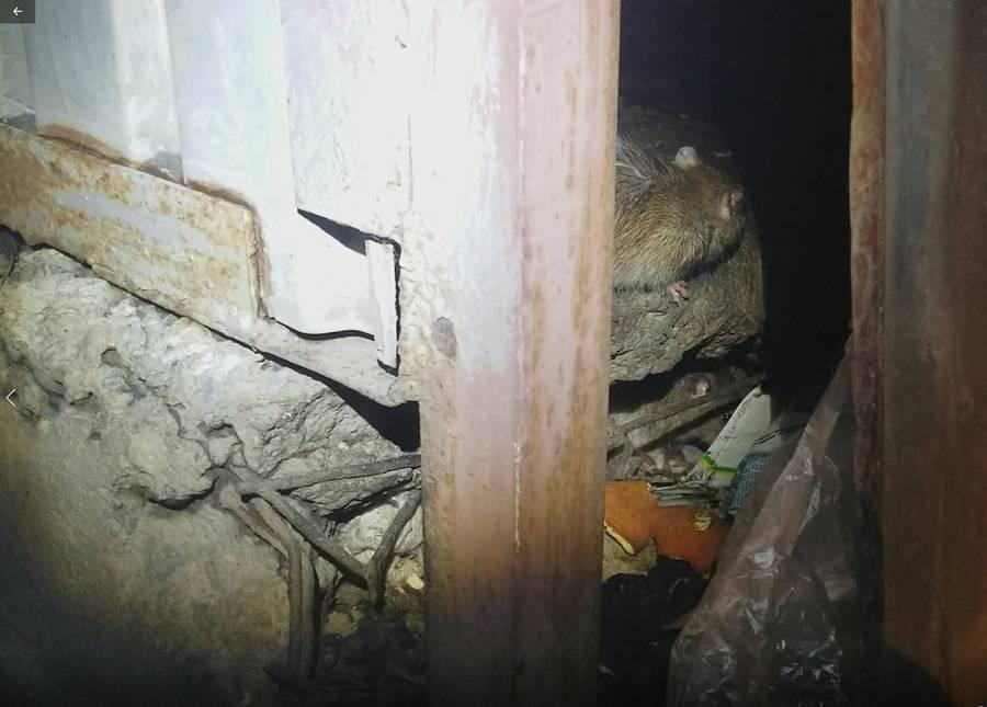 Активисты ОНФ обратятся в прокуратуру из-за наличия крыс на контейнерных площадках Челябинска