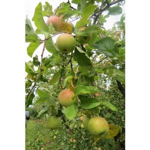Белгородский филиал Россельхозбанка инвестирует в новые фруктовые сады