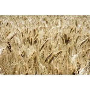 Семена подлежат проверке, а зерну необходима декларация о соответствии
