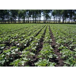 О защите урожая зернобобовых культур