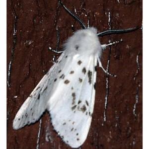 Американская белая бабочка обнаружена в установленной зоне Ростовской области