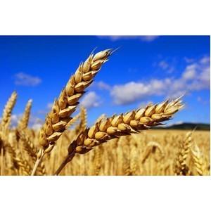 Ростовским филиалом ФГБУ «ЦОКЗ» подтверждено соответствие качества и безопасности более 8 млн тонн зерна