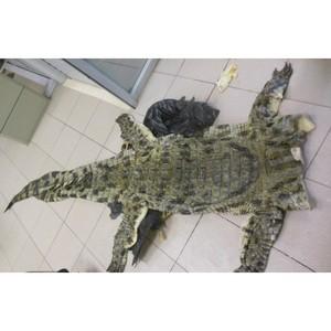 Ярославские таможенники предотвратили незаконный ввоз кожи крокодила