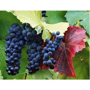 На Ставрополье собрано более 20 тысяч тонн винограда