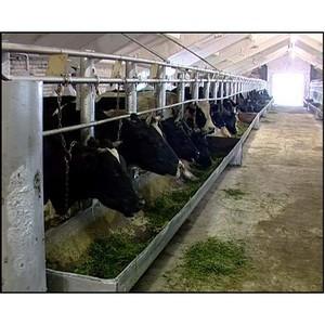 Для лечения коров, больных маститом, применялся препарат Мастиет Форте
